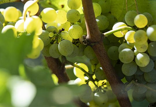 I nostri ingredienti di vite e d'uva