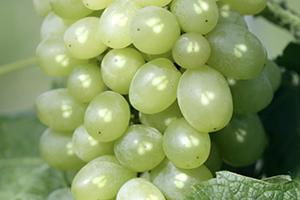 Polifenoli di vinaccioli d'uva